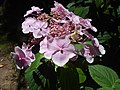Hydrangea macrophylla 2018-07-09 4742.jpg