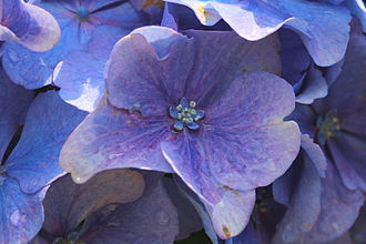 Hydrangea macrophylla - Close-up on a flower showing coloured sepals around the five petals.