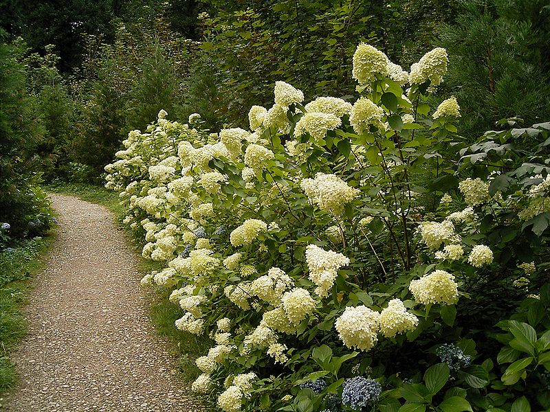 file hydrangea paniculata 01 wikimedia commons. Black Bedroom Furniture Sets. Home Design Ideas