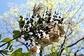 Hydrangea quercifolia 22zz.jpg