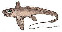 Hydrolagus alberti