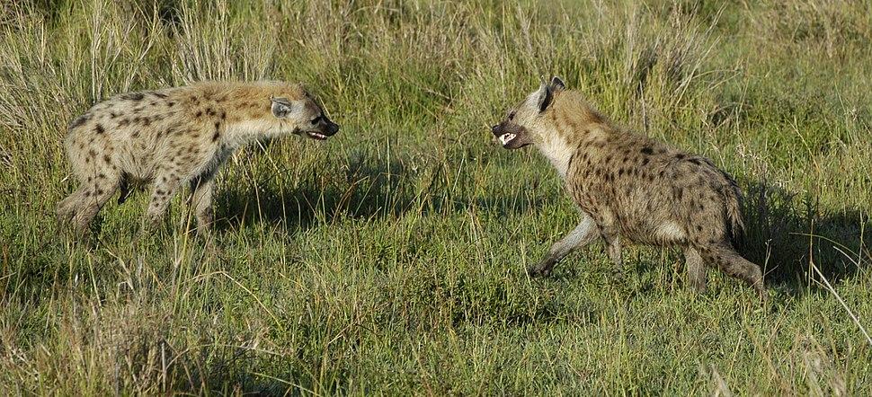 Hyena Standoff