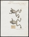 Hyla marmorata - 1700-1880 - Print - Iconographia Zoologica - Special Collections University of Amsterdam - UBA01 IZ11500217.tif