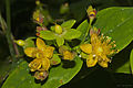 Hypericum androsaemum - Sanalotodo - St. John's wort (L) (6271617359).jpg