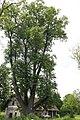 ID 770 Tilia St Lorenzen.JPG