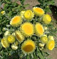 IMG 5064 Helichrysum foetidum.jpg
