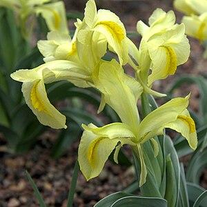 Iris caucasica - Image: IMG 5527 Iris caucasica