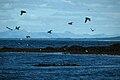 IS - Reykjavik - Höfuðborgarsvæðið - Puffin Island - Puffins - Road Trip - Chordata - Animalia - Fratercula - Alcidae - Charadriiformes - Aves (4890531404).jpg