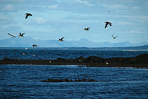 Lundey - Image: IS Reykjavik Höfuðborgarsvæðið Puffin Island Puffins Road Trip Chordata Animalia Fratercula Alcidae Charadriiformes Aves (4890531404)