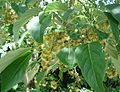 Idesia polycarpa - blossoms and leaves.JPG