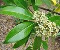 Ilex paraquariensis, Aquifoliaceae (8645996278).jpg