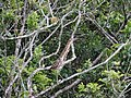 Ilha das Peças 2015 27 Socó-boi.jpg