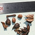 Illicium anisatum (seed with scale).jpg