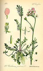 Žerušnica lúčna (Cardamine pratensis)