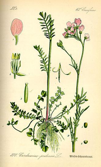 Cardamine - Cardamine pratensis from Thomé: Flora von Deutschland, Österreich und der Schweiz 1885