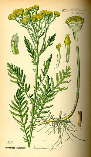 Tansy - Illustration of a tansy