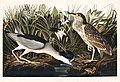 Illustration from Birds of America (1827) by John James Audubon, digitally enhanced by rawpixel-com 236.jpg