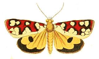 <i>Crameria amabilis</i> species of insect