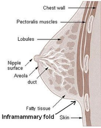 Inframammary fold - Cross section of the breast of an adult, female human