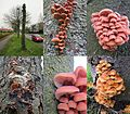 In Arnhem there are several lanes with - sometimes young - chesnut trees that are infected by Flammulina velutipes (GB= Winter mushroom, Golden needle mushroom, Velvet stem, Enoki, D= Gemeiner Samtfußrübling, F= Col - panoramio.jpg
