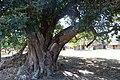 Indaba Tree (10902313713).jpg