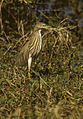 Indian Pond Heron - Barhatpur - India 860045 (15408500891).jpg
