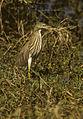 Indian Pond Heron - Barhatpur - India 860045 (15408500891).jpg