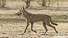 Photograph of a wolf trotting across an arid terrain