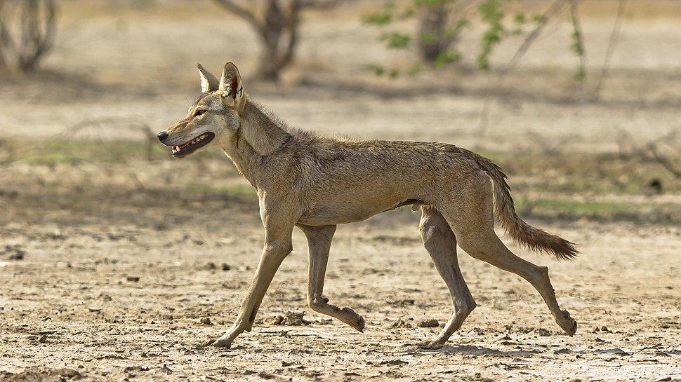 Indian Wolf Photo Dhaval Vargiya
