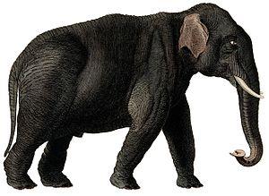 Mammal - Elephas maximus