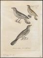 Indicator minor - 1700-1880 - Print - Iconographia Zoologica - Special Collections University of Amsterdam - UBA01 IZ18800301.tif