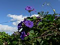 Ipomoea acuminata - panoramio.jpg
