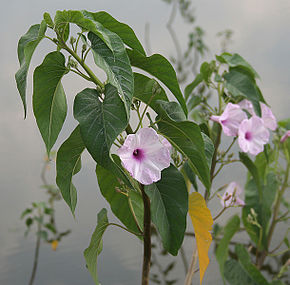 Description de l'image Ipomoea carnea in Narshapur, AP W IMG 1113.jpg.