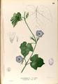 Ipomoea hederacea Blanco1.66-original.png