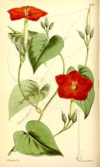 Ipomoea nationis (Quamoclit nationis) Bot. Mag. 90. 5432. 1864.