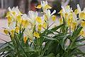 Iris Bucharica.jpg