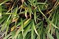 Iris cristata 8zz.jpg
