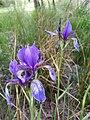Iris sibirica sl16.jpg