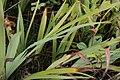 Iris versicolor 6zz.jpg
