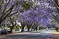 Jacaranda are mostly Purple-03 (22698486926).jpg