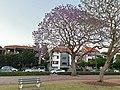 Jacaranda tree 2.jpg