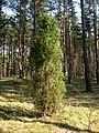 Jalovec poblíž Salaspilsu.jpg