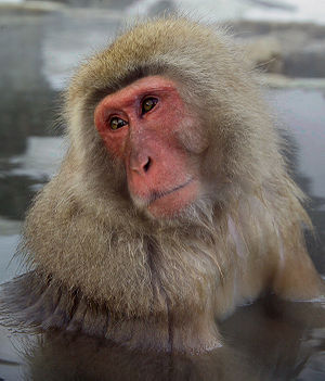 Wildlife of Japan - Japanese macaque bathing in hot springs in Nagano prefecture.