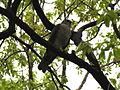 Japanese sparrowhawk Fem01.jpg