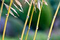 Jardin japonais de Compans - Bambou.jpg