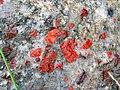 Jasper-quartz pebble conglomerate (Lorrain Formation, Paleoproterozoic, ~2.3 Ga; Ottertail Lake Northeast roadcut, near Bruce Mines, Ontario, Canada) 40 (40742985243).jpg