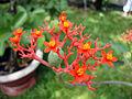 Jatropha podagrica (2).JPG