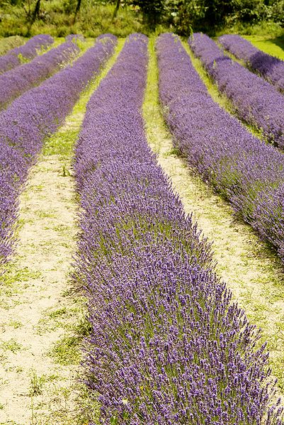 File:Jersey Lavender Farm 48.jpg