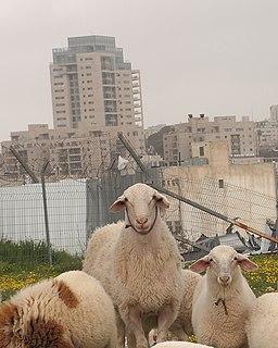 Jerusa-Lamb-2 (8499834971)