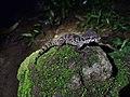 Jeypore ground gecko (Cyrtodactylus jeyporensis).jpg